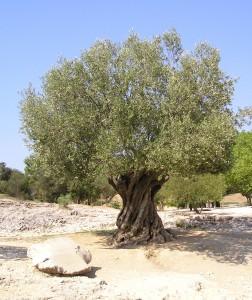 olivetree-252x300