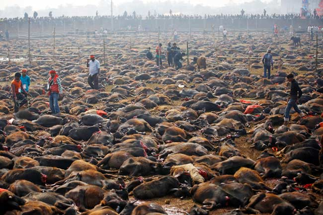 mass animal sacrifice